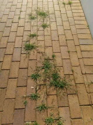 Grass growing on paving